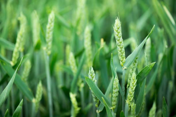 cultivos ecologicos de trigo