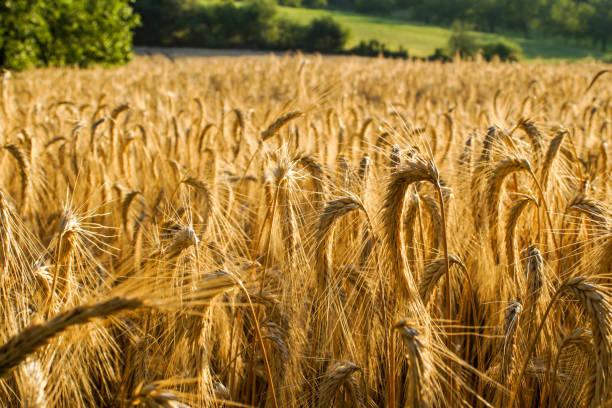 cultivos de trigo ecologico