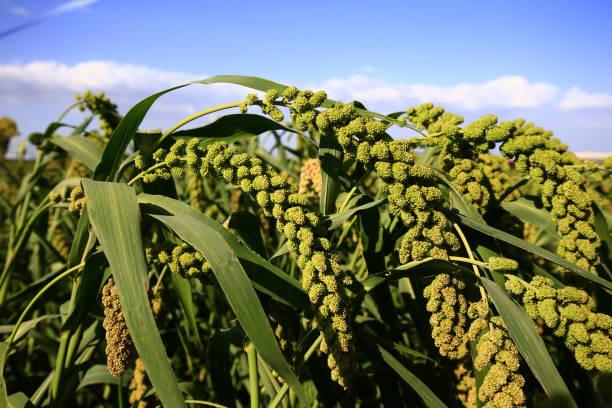 cultivo con harina de mijo