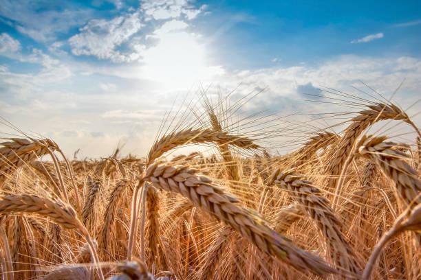 cultivo de trigo salvaje